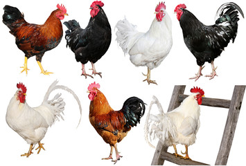 Set of  chicken isolated on white.