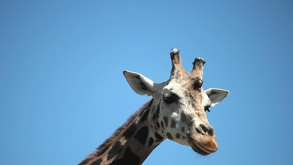 Closeup portrait of a giraffe against blue sky