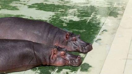 Two hippopotamus lying int he water