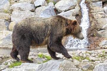 Grizzly Bear and a waterfall on background
