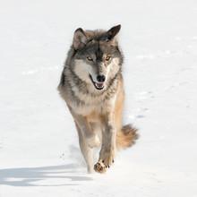 Loup gris (Canis lupus) en allant tout droit à la visionneuse