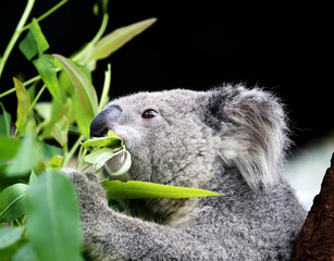 koala eating eucalyptus leaves.