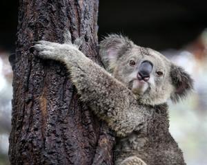 koala looking camera