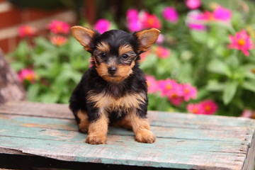 Yorkshire Terrier Puppy Sitting on Wooden Crate