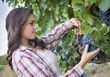 Young Mixed Race Woman Harvesting Grapes in Vineyard