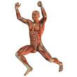 Muskelstruktur beim Gewichtheber