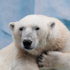 Portrait of a polar bear closeup