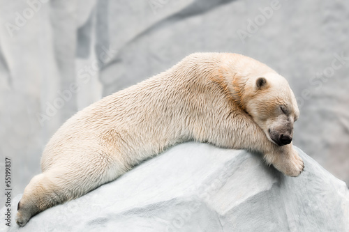 Aluminium Ijsbeer Sleeping polar bear