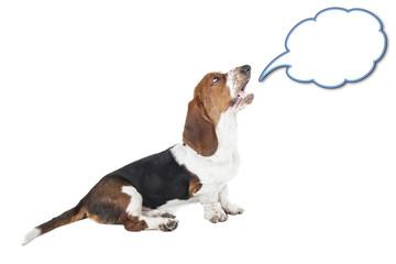 Basset hound speaks on a white background in studio