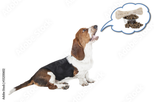 Basset hound dog barking