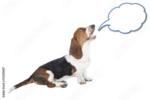 Basset hound speaks on a white background in studio