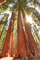 magnificent giant sequoia trees, sequoia national park, californ