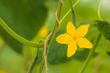 Yellow flower on a cucumber plant in a greenhouse