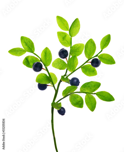 branch with вфкл blueberries on white