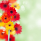 herbera flowers background
