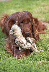 Sweet Irish Setter puppy playing with his toy
