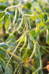 close up of the soy bean