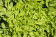 laitue, salade, variete Quelio, Lactuca sativa