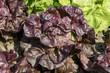 laitue, salade, variete Picholine, Lactuca sativa