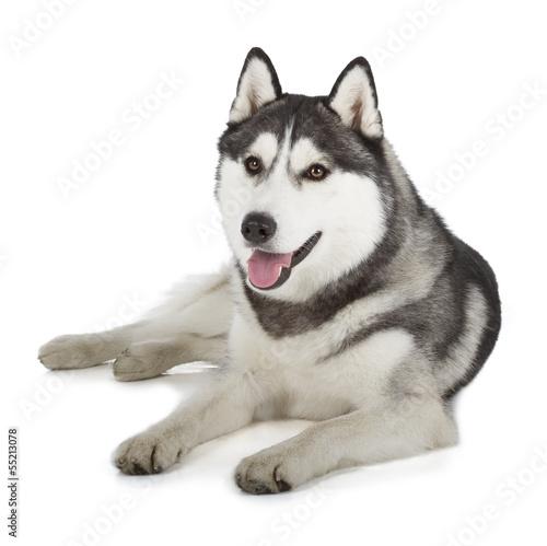Papiers peints Loup Siberian Husky