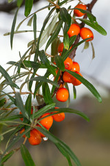 Berries of sea buckthorn.