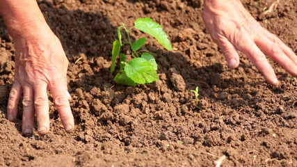 Closeup of human hands planting a small tree into soil