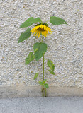 Forces of nature. Sunflower growing through the stone poster