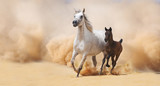 Arabian Mare and foal galloping in desert - 55220205