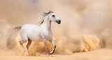 arab stallion in desert - 55220211