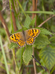 wall brown butterfly on nettle leaf