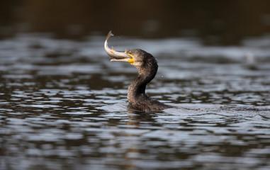 Great cormorant, Phalacrocorax carbo