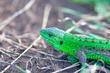 shining green lizard