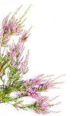 Heather on the white background