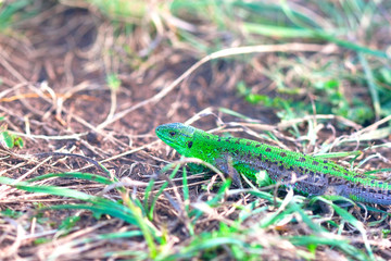 shining green lizard in the grass