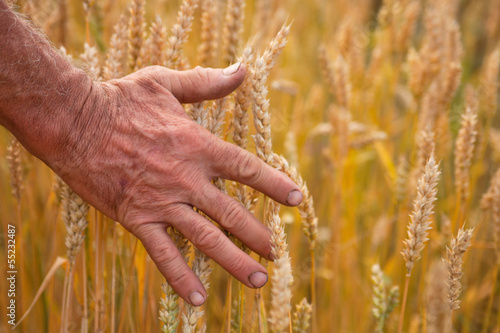 Wheat ears and hand
