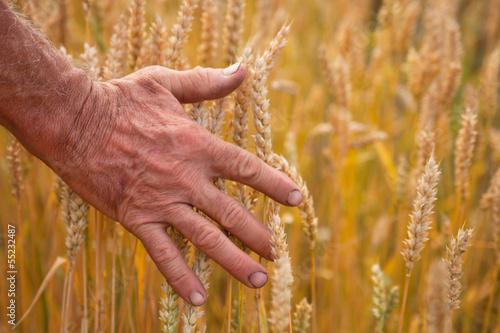 Wheat ears and hand