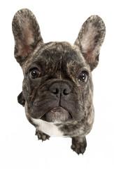 Französische Bulldogge Kopf