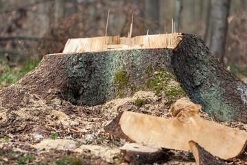 Holzeinschlag gefältter Baum