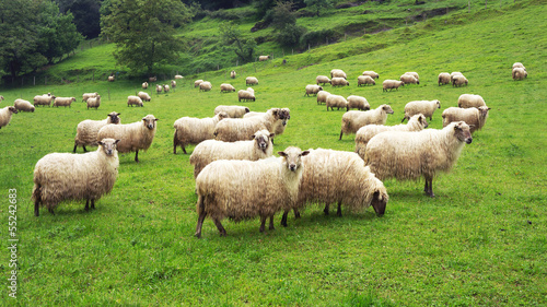 Canvas Schapen flock of sheep