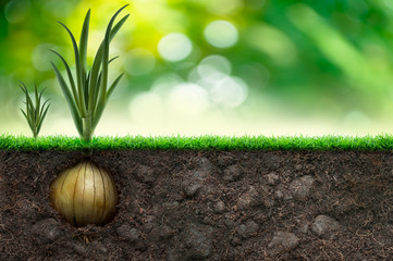 Onion And Grass in Green Background