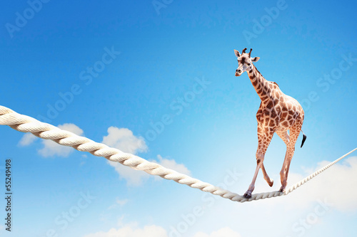 Aluminium Giraffe Giraffe walking on rope