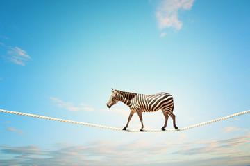 Zebra walking on rope