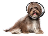 Happy grateful havanese dog is recovering and wearing a funnel c