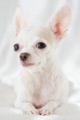 Close-up portrait of chihuahua lying on white bedding