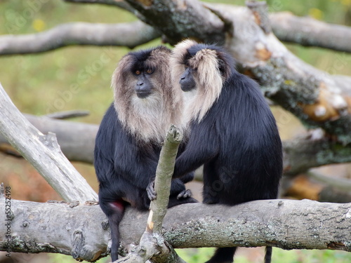 Foto op Canvas Aap Two Lion-tailed macaques portrait