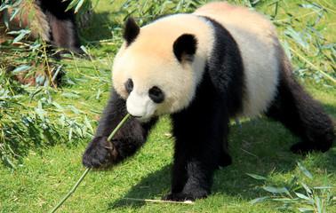 Panda géant d'un zoo mangeant du bambou