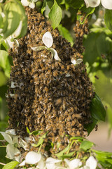 A swarm of bees has landed in a tree