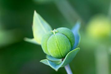 Grüne, junge Wiesenblume