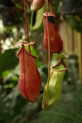 closeup of Nepenthes in a greenhouse