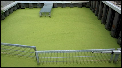 Millionen grüner Wasserlinsen schwimmen auf der Wasseroberfläche